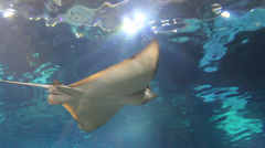 Big Fish (Ray) under water Stock Footage