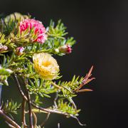 Flowering purslane, pussley Stock Photos