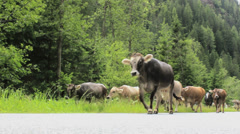 Cows walking on a road in the Alps, Austria Stock Footage