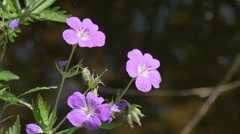 Close-up of small violet mountain flowers. West Alps, Italy, Europe.  4K UHD Stock Footage