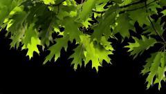 Oak leaves - stock footage