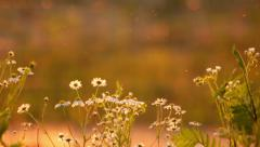 Daisies at sunset Stock Footage