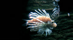 Sea life - Beautiful zebra lion fish - stock footage