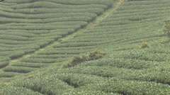 High-Mountain Tea Plantation Stock Footage