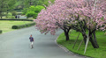 People walk in Tokyo central park look at blossoming pink sakura trees Footage