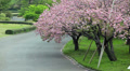 Sakura trees with pink blossoming flowers, Tokyo garden, Japan Footage