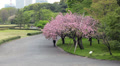 Sakura trees with pink blossoming flowers, Tokyo city central garden, Japan HD Footage