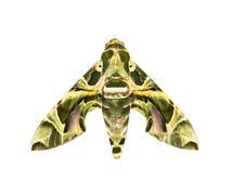 Hawk-moth ( daphnis nerii ) isolated on white Stock Photos