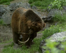 Grizzly bear (Ursus arctos horribilis) inspecting antlers and walks away Stock Footage