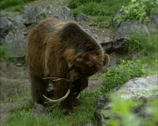 Stock Video Footage of Grizzly bear (Ursus arctos horribilis) inspecting antlers and walks away
