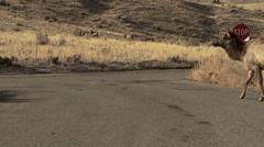 Elk Crossing the Road Stock Footage