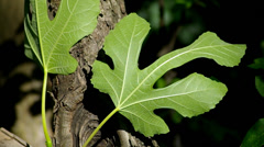Green fig leaf. - stock footage