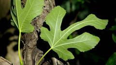 Green fig leaf. Stock Footage