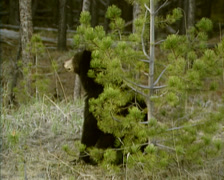 American Black Bear (Ursus americanus) rubs its back against a young tree Stock Footage