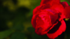 Red rose bush Raw Quality Stock Footage