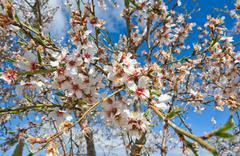 almond flower - stock photo