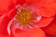 Rose flower macro close up anther stamen red orange Stock Photos