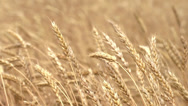 Wheat field - agriculture Stock Footage