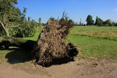 fallen tree blown over by heavy winds - stock photo