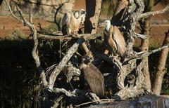 several vultures perched - stock photo