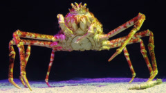 Single Japanese Spidercrab - stock footage