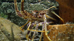 Langouste in the sea Stock Footage