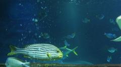 Indian Ocean Oriental Sweetlips fish Stock Footage