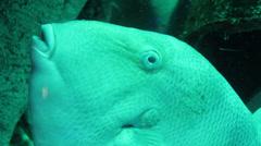 Close-up triggerfish Stock Footage