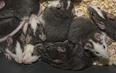 rats for birds meal - stock photo