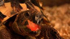 Pet turtle eating a tomato Stock Footage