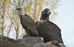 griffons perched - stock photo