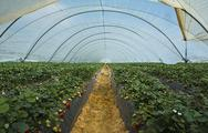 Stock Photo of strawberry cultivation in huelva