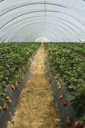 Strawberry furrows Stock Photos