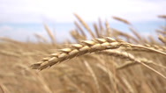 Grain Ear of wheat - agriculture Stock Footage