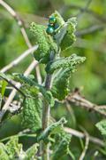 cetonia aurata - stock photo