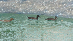 Group of three ducks floating on the water Stock Footage