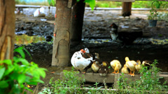 Duck and ducklings wash their wings near the pond. Video Stock Footage