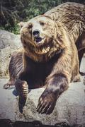 killer, spanish powerful brown bear, huge and strong  wild animal - stock photo