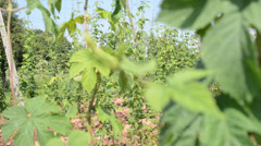 Hop garden in vegetation, rack focus Stock Footage