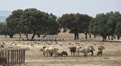 storks and cows on a pastoral management area - stock photo