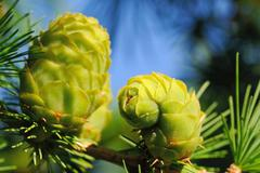 ovulate cones (strobiles) of larch tree - stock photo
