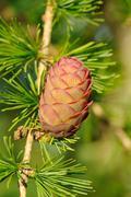 ovulate cone (strobilus) of larch - stock photo