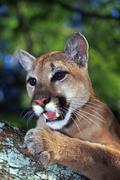 Florida Panther, Felis concolor coryi - stock photo