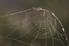 Spiderweb covered with dew, Everglades national park - stock photo