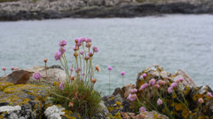 Centaury Flowers at Clifden Bay, Ireland Stock Footage