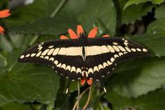 Thoas swallowtail Stock Photos