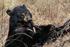 Black Bear Kuvituskuvat