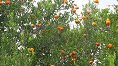 Tangerines on the tree Stock Footage