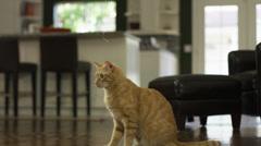 Orange Striped Cat Swipes at String Stock Footage