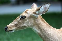 the side of the head deer. - stock photo